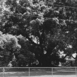 Camphor Tree in Zephyrhills, Florida