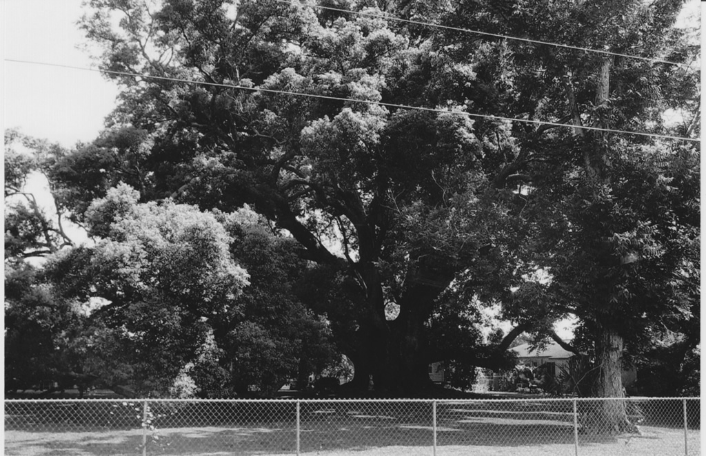 The signature camphor tree